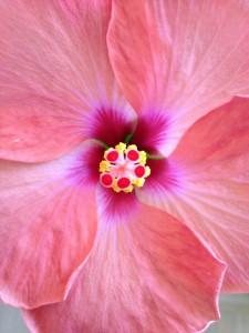 Hibiskusblüte